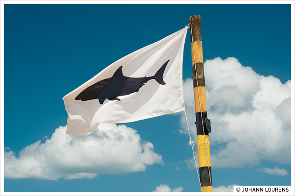 white flag shark