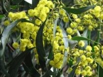 Gold-Akazie (Acacia pycnantha) © Melburnian / CC BY-SA 3.0